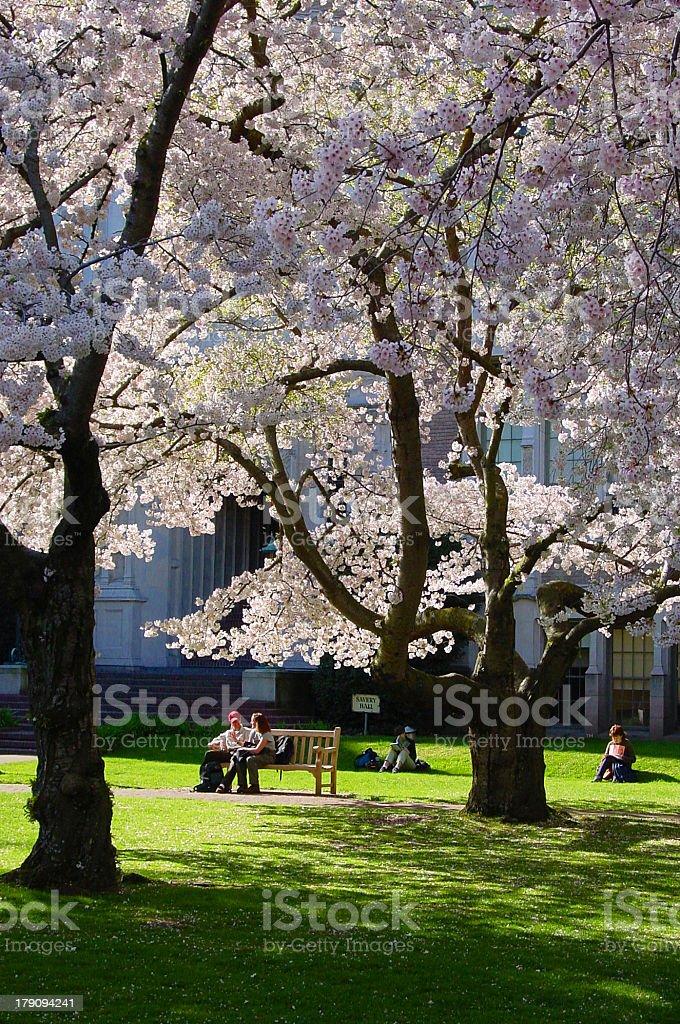 Seattle Sakura stock photo