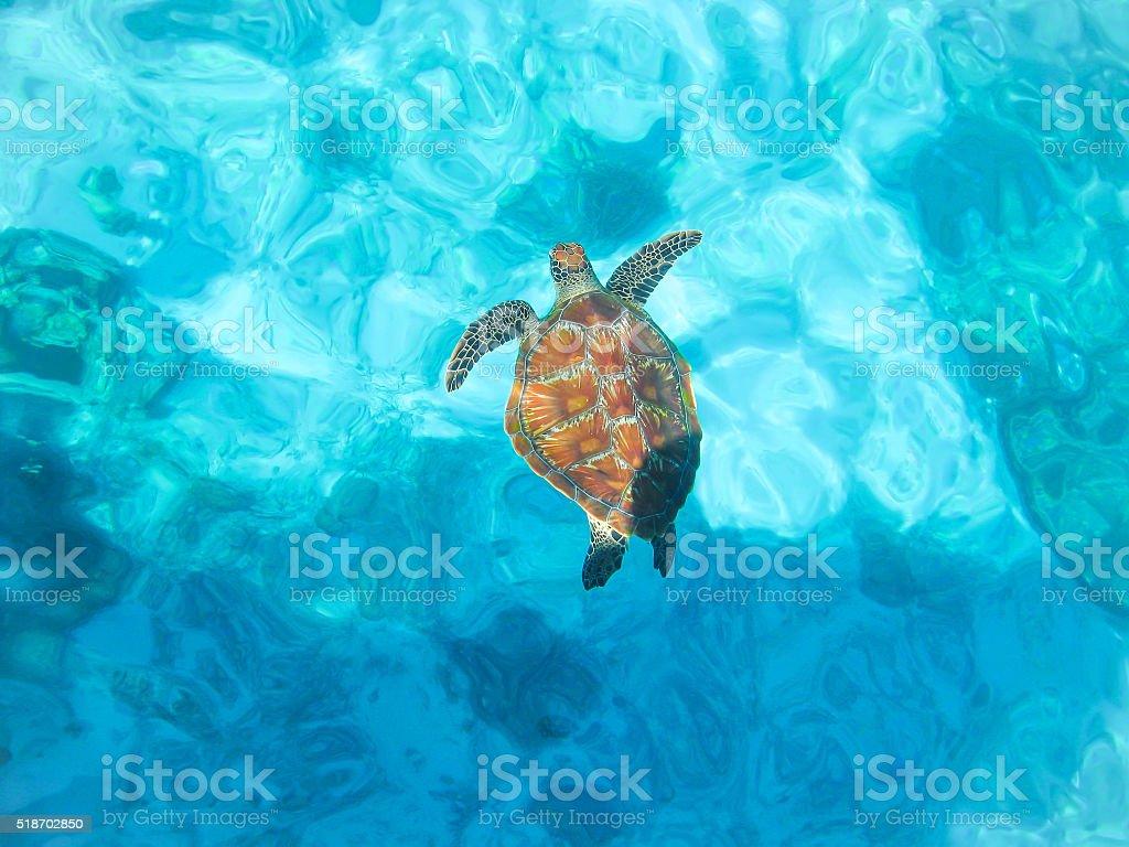 sea-turtle in blur background stock photo