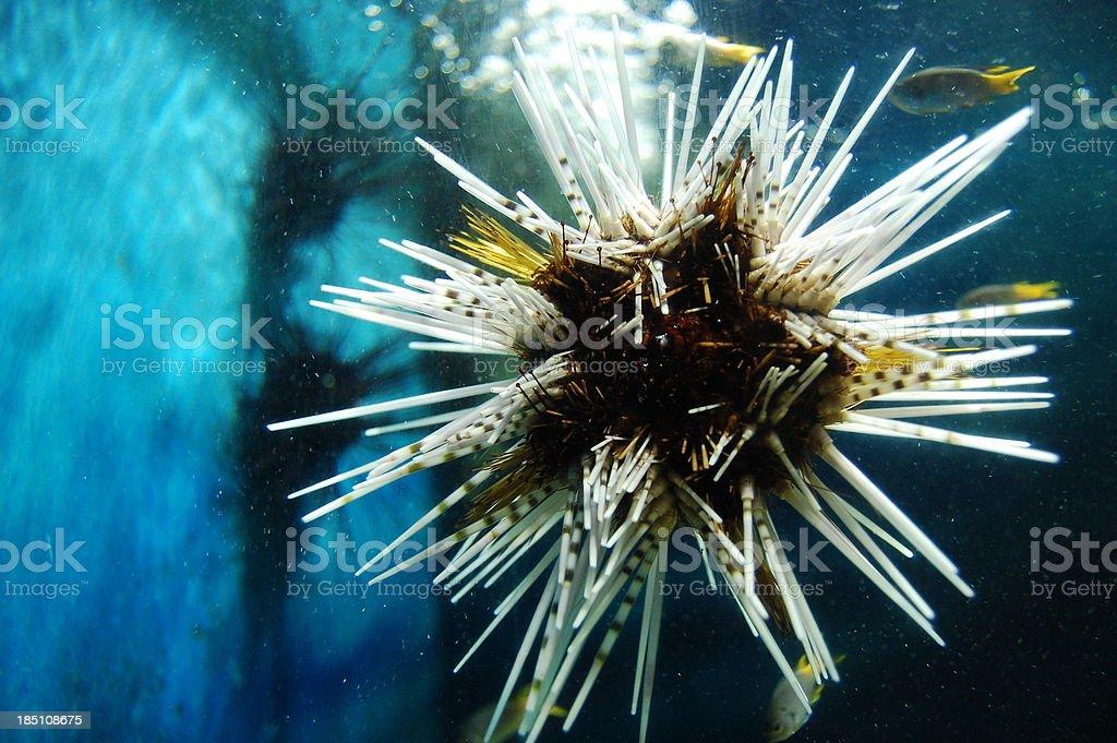 sea-urchin underwater royalty-free stock photo