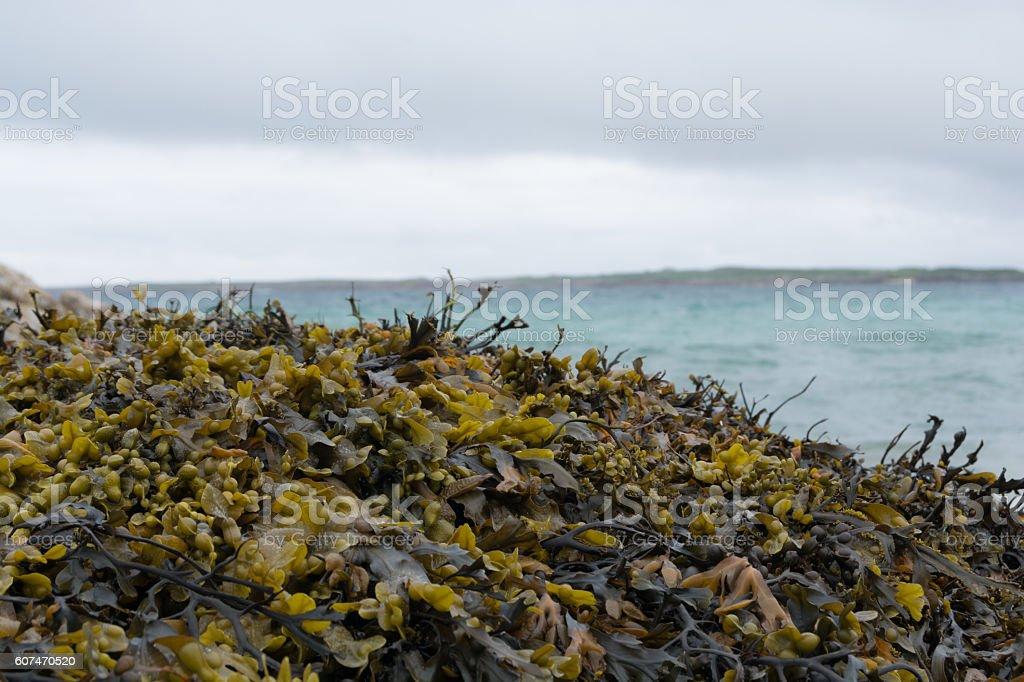Seawead, seagrass, algea stock photo