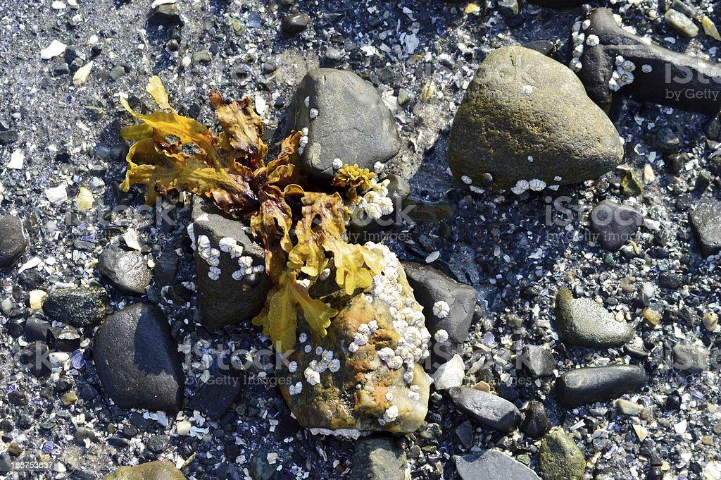 Algues et des bernacles photo libre de droits