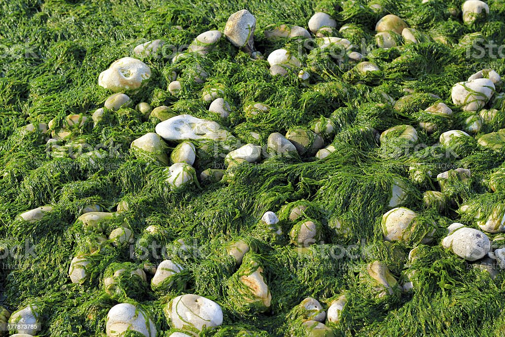 Seaweed and pebbles background royalty-free stock photo