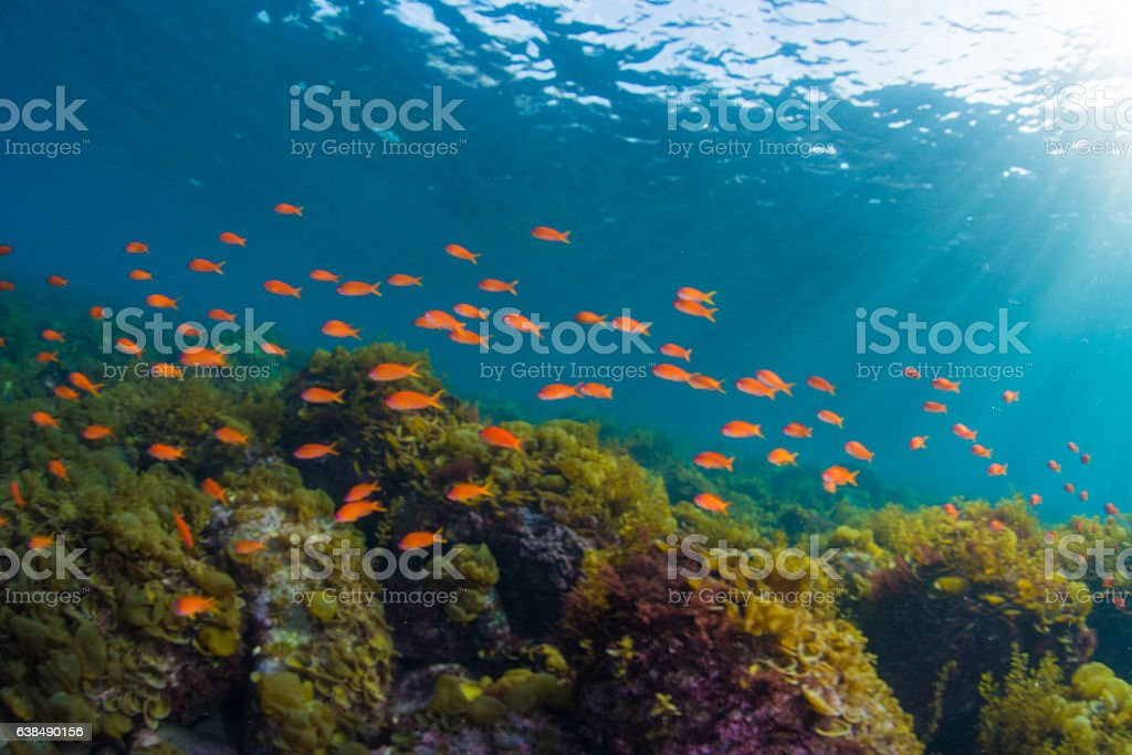 Seaweed and School of Sea Goldie stock photo