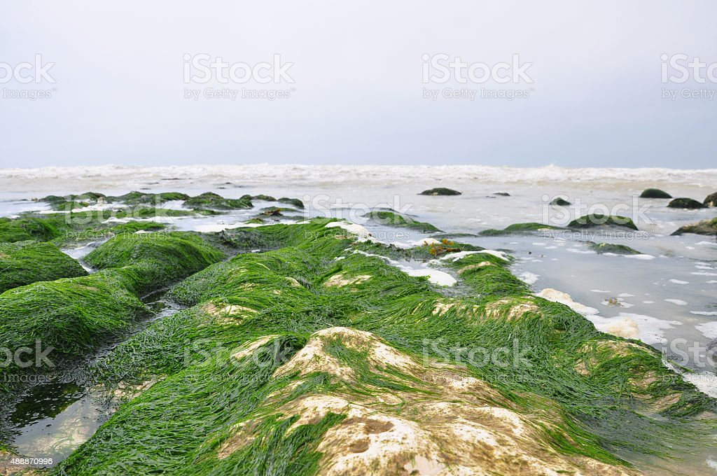 Seaweed at Seven Sisters White Chalk Cliffs at Birling Gap Beach stock photo