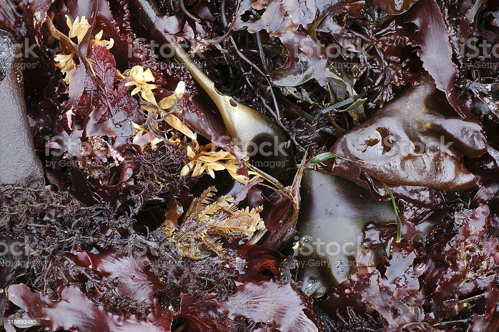seaweed background royalty-free stock photo