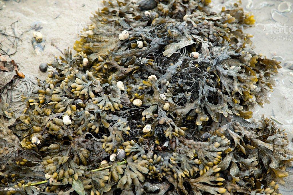 Seaweed Bladder Wrack on beach run dry stock photo