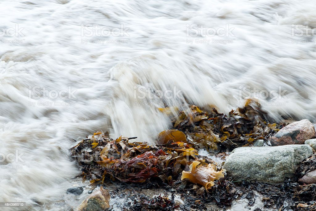 Seaweed Bladder Wrack washed over by wave stock photo