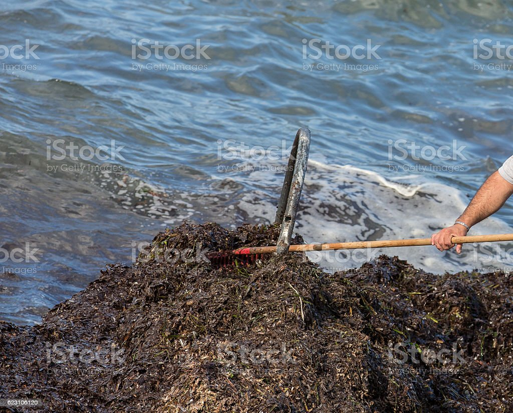 Seaweed bladderrack being cleared from the shoreline by hand stock photo