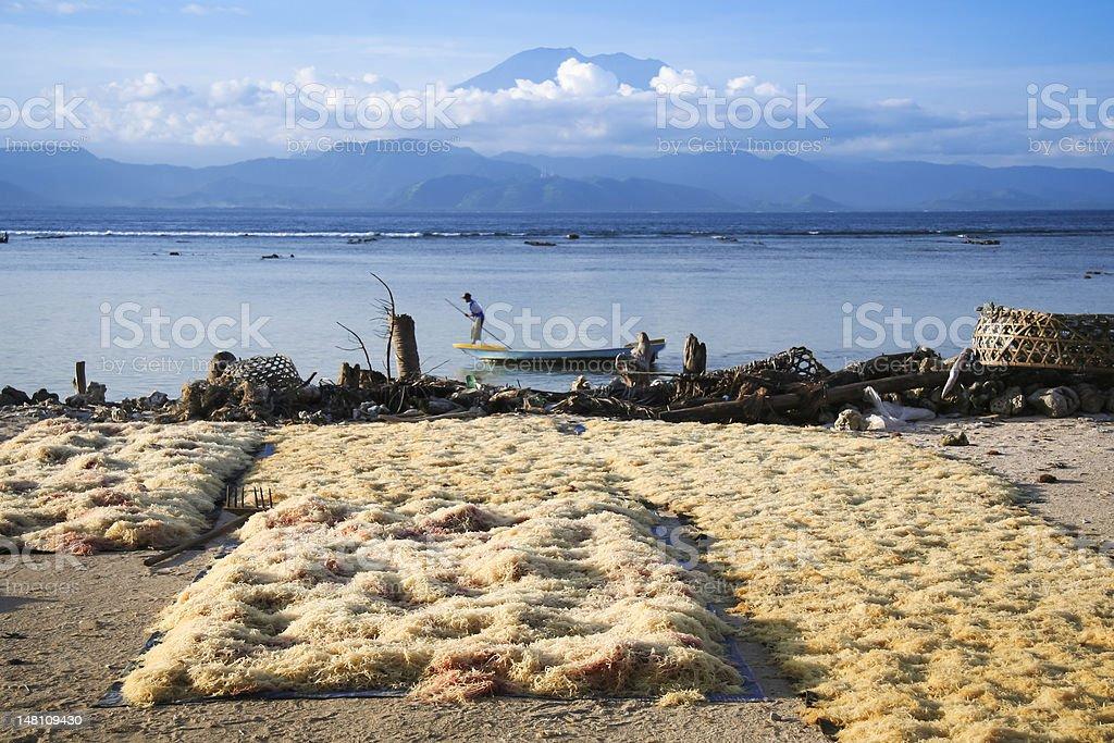 seaweed drying nusa lembongan bali royalty-free stock photo