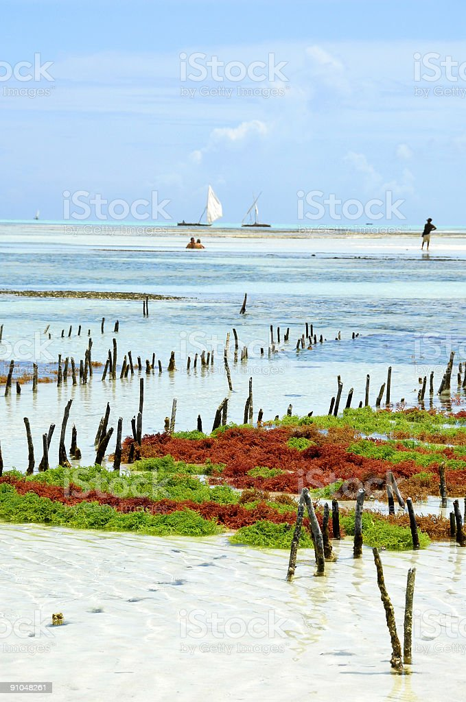 Seaweed farm at the East coast of Zanzibar. royalty-free stock photo