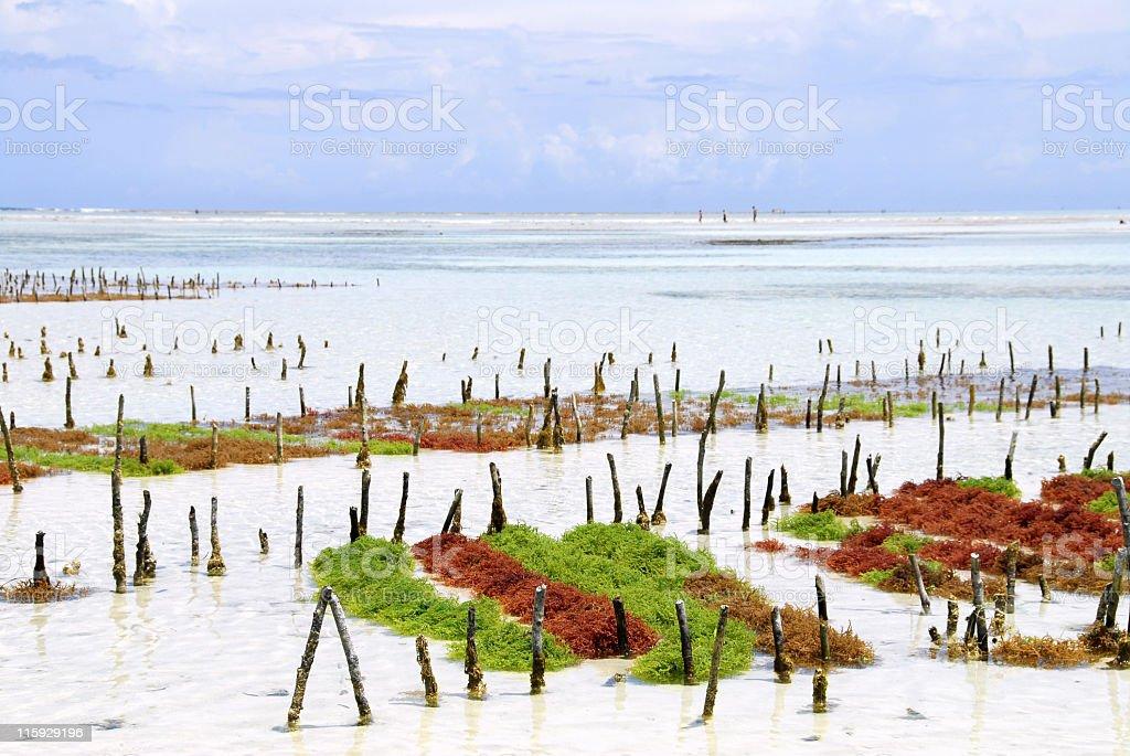 Seaweed farm stock photo