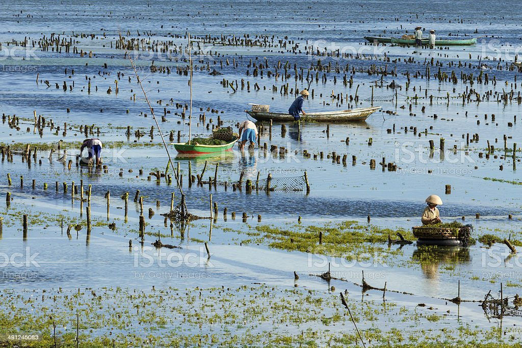 Seaweed farmer in Bali royalty-free stock photo