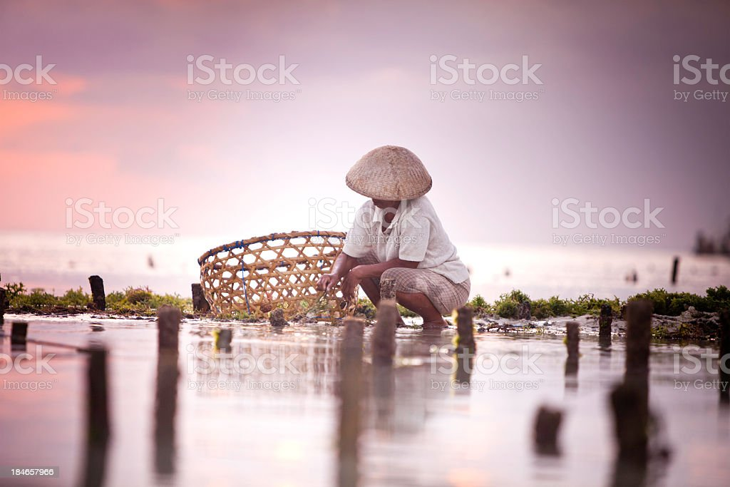 A seaweed farmer wearing a hat while picking seaweed stock photo