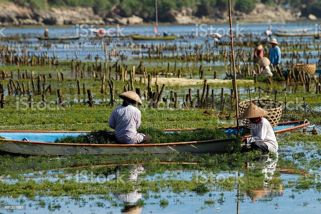 Seaweed farmers in Bali stock photo