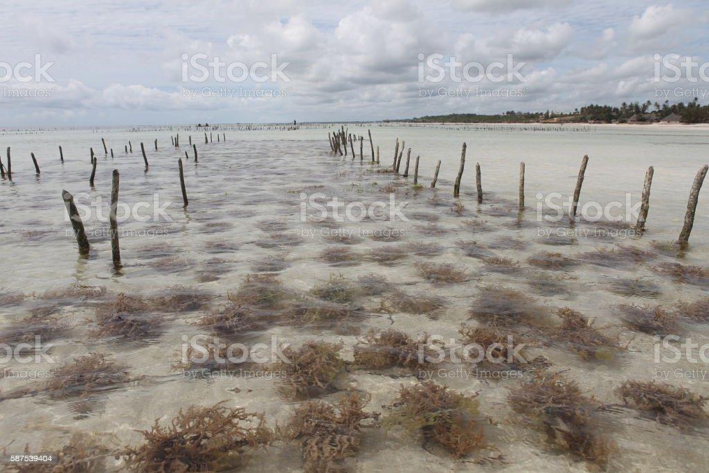 Seaweed farming in Zanzibar stock photo