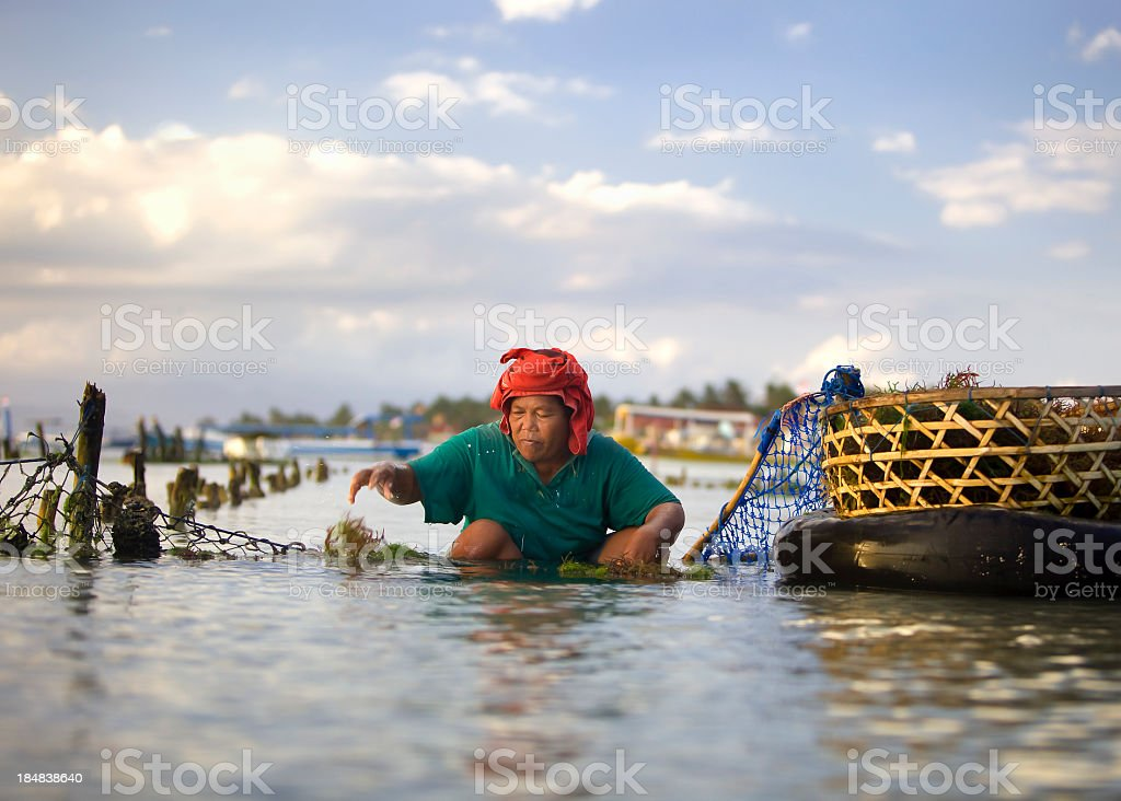 Seaweed Farming royalty-free stock photo