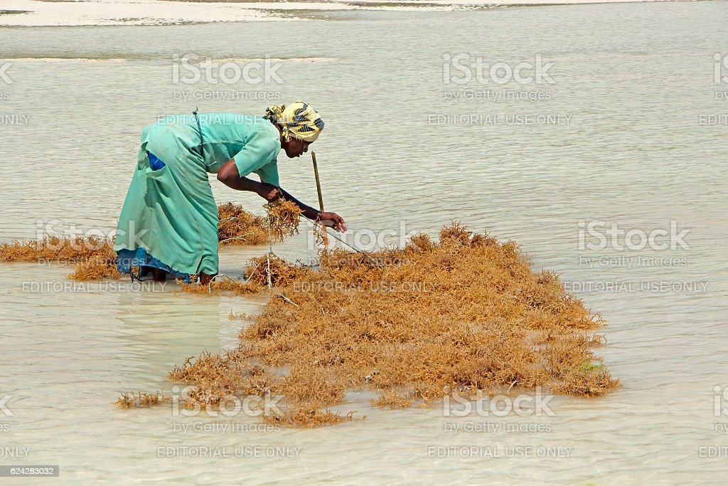Seaweed farming - Zanzibar stock photo