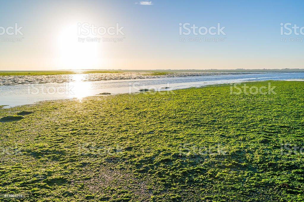 Seaweed field on Waddensea wetlands, Netherlands stock photo