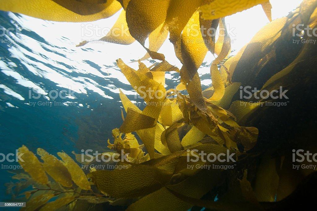 Seaweed floating in Pacific Ocean stock photo