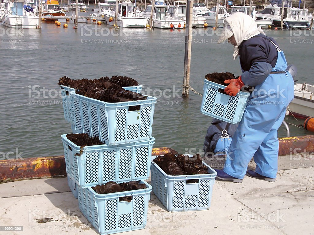Seaweed harvest royalty-free stock photo