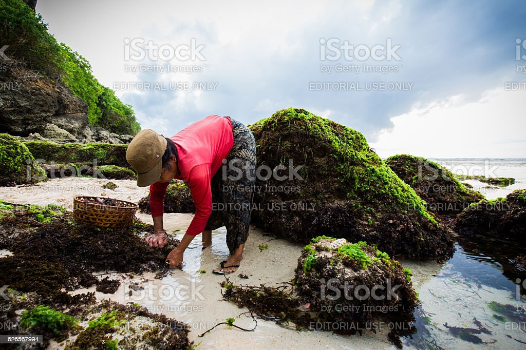 Seaweed harvesting stock photo