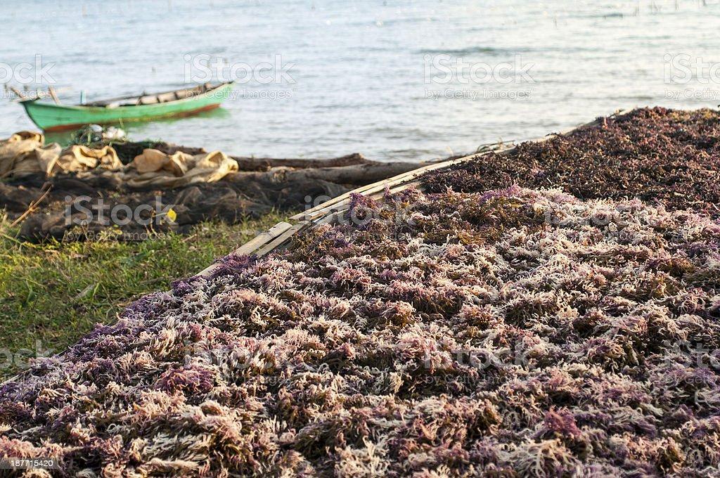 Seaweed harwest stock photo