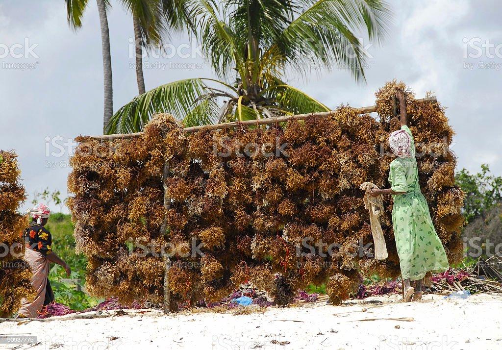 Seaweed is hung to dry on the beach,Zanzibar royalty-free stock photo