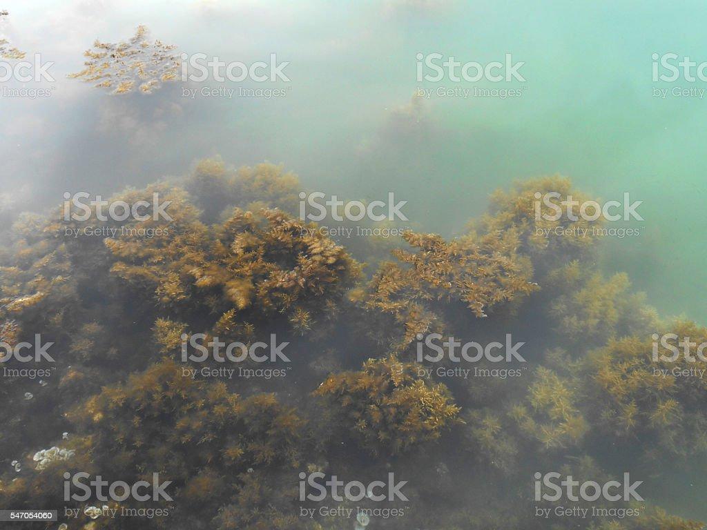 seaweed, kelp and algae under the sea stock photo