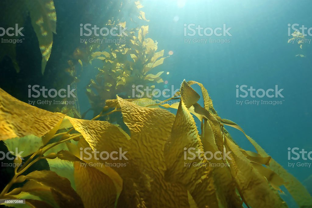 Seaweed kelp floating at California reef stock photo