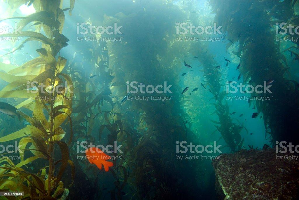 Seaweed kelp forest at California reef stock photo