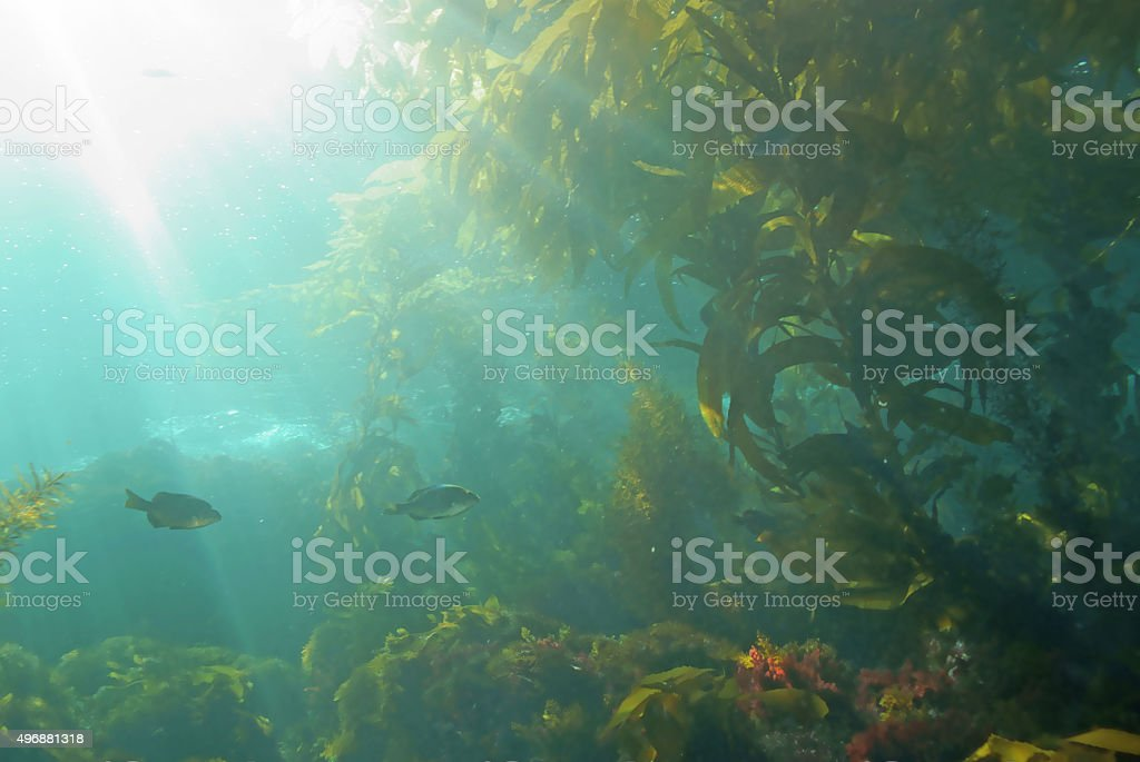 Seaweed kelp forest landscape stock photo