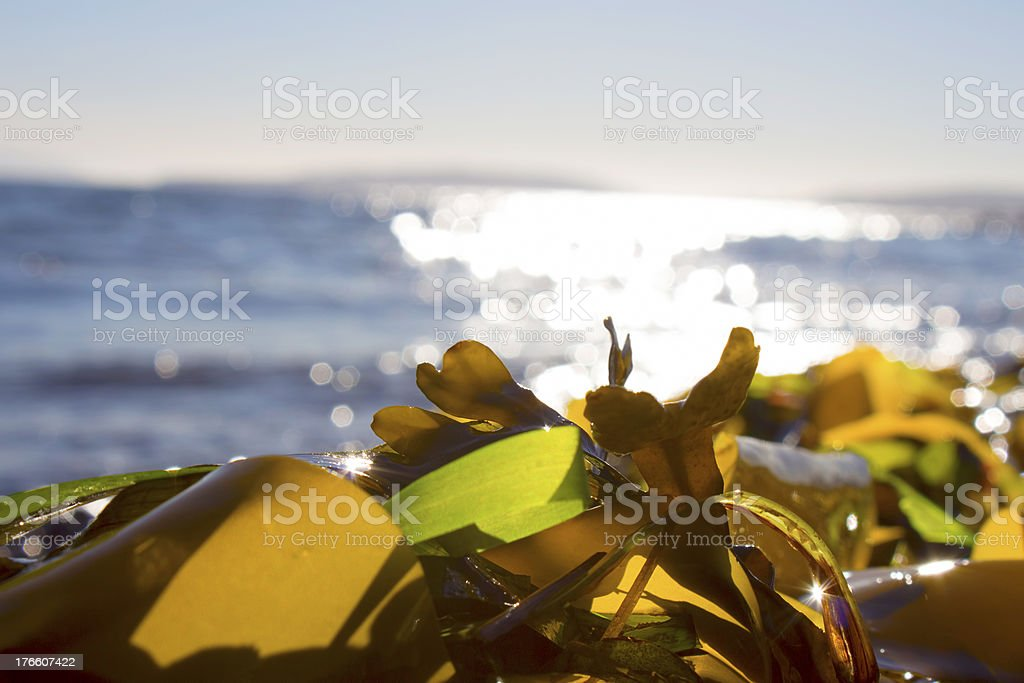 Seaweed on a beach royalty-free stock photo