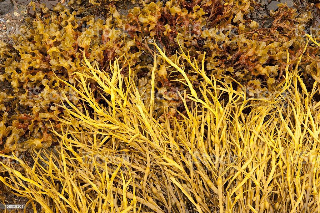 Seaweed on a Scottish shore royalty-free stock photo