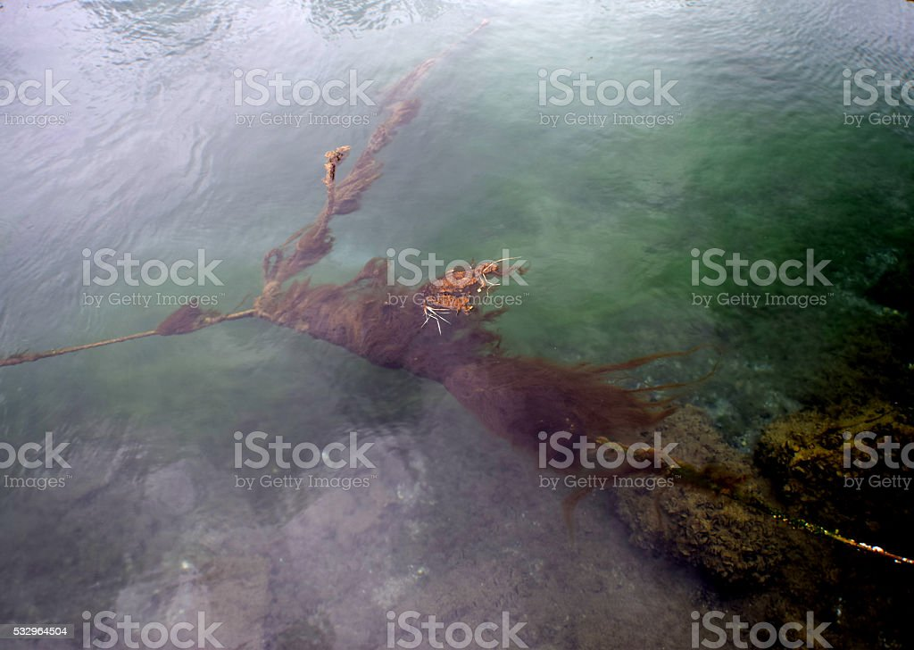 Seaweed on the rope stock photo