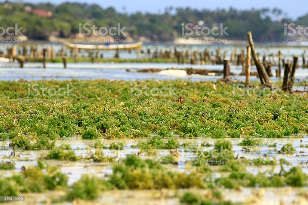 Seaweed or Algae stock photo