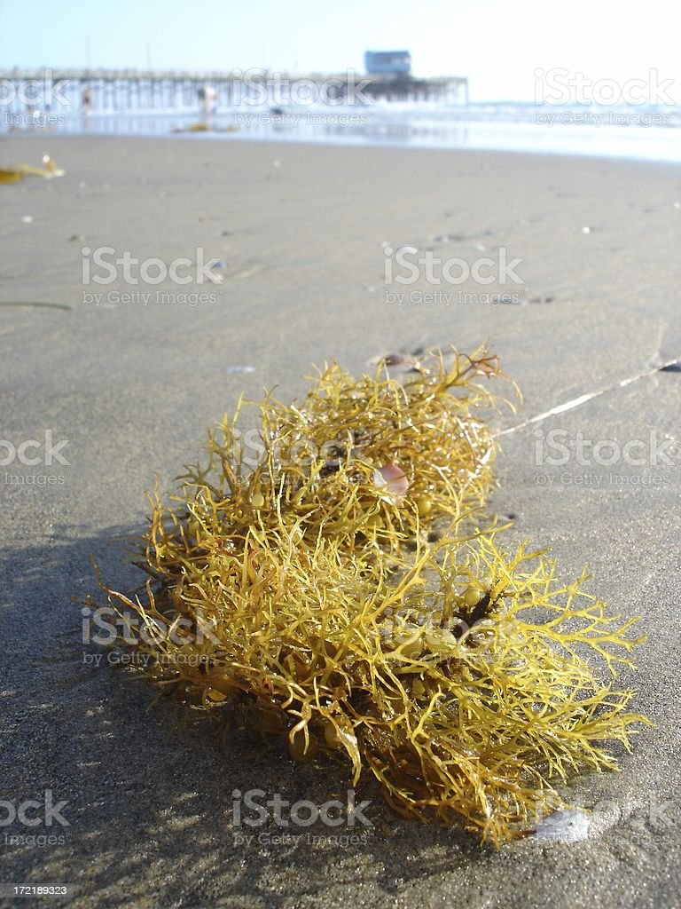 Seaweed royalty-free stock photo