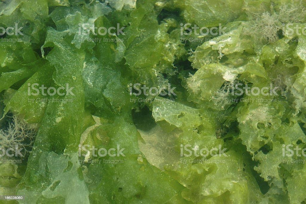 seaweed royalty-free stock photo