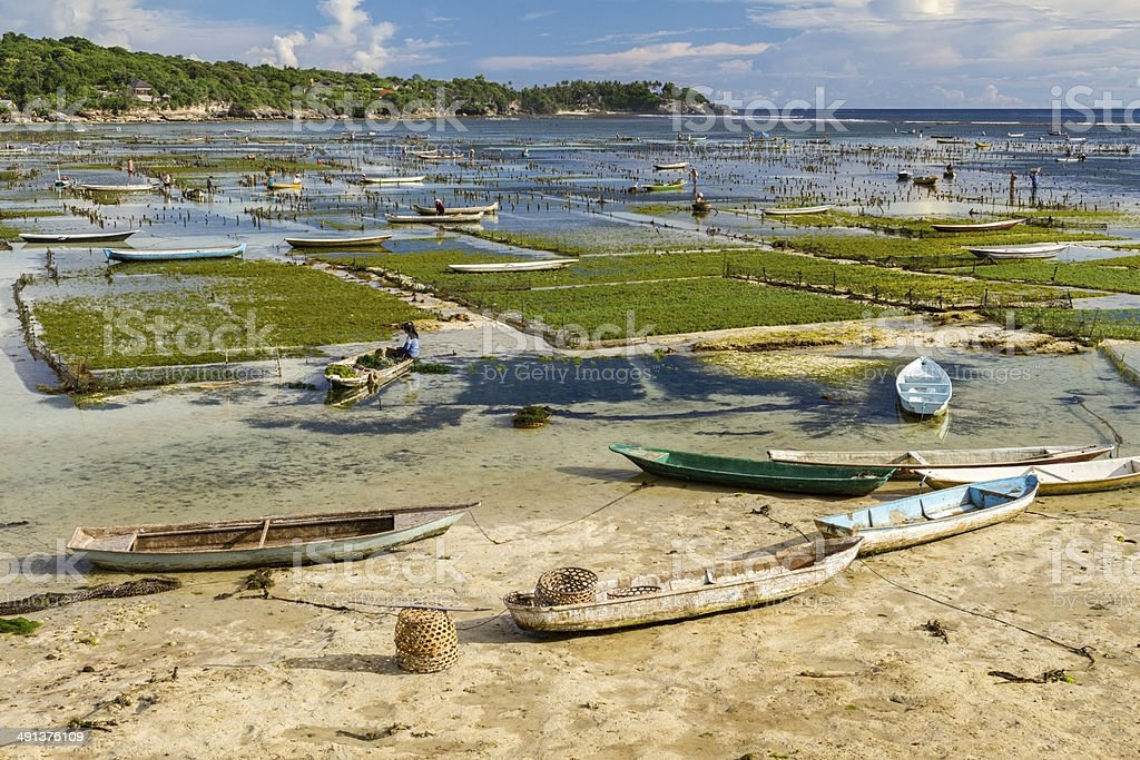 Seaweed plantation in Bali royalty-free stock photo