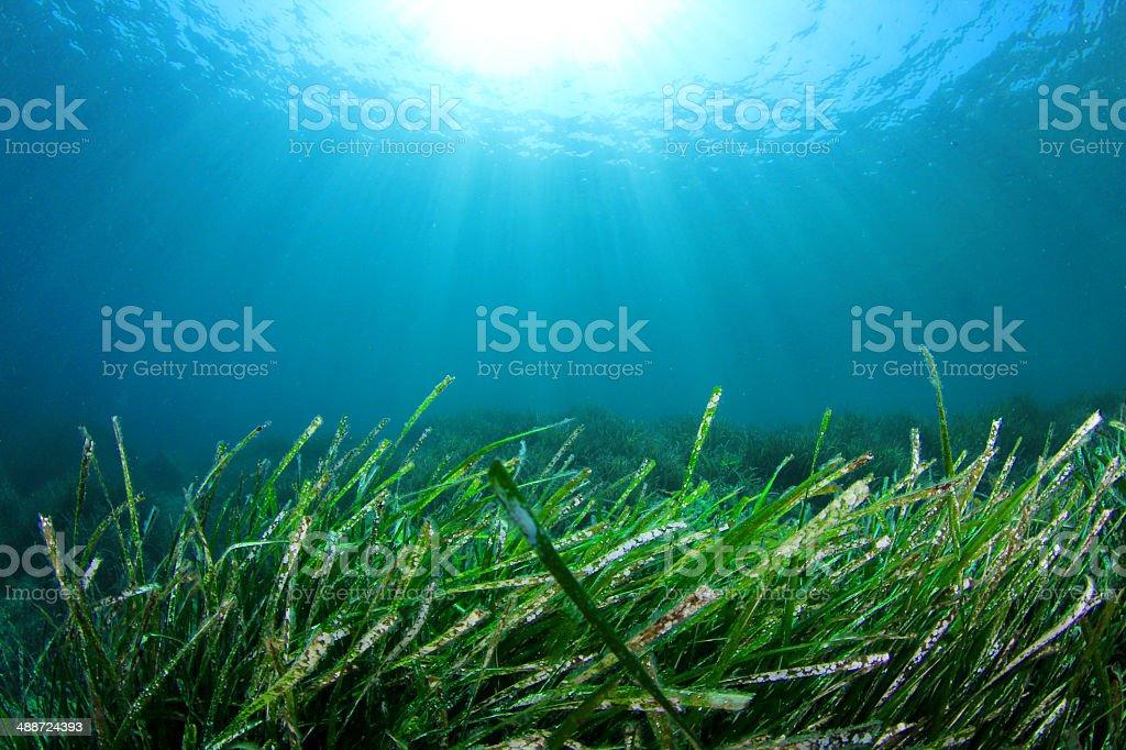 Seaweed underwater stock photo