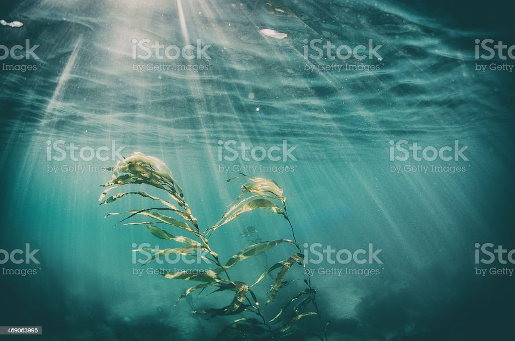 Seaweed underwater with sunbeams coming down stock photo