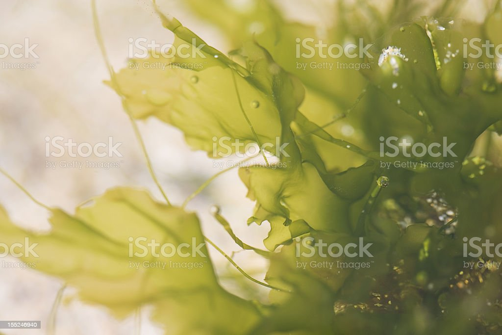 seaweed with bubbles on fronds, close-up, shot underwater stock photo