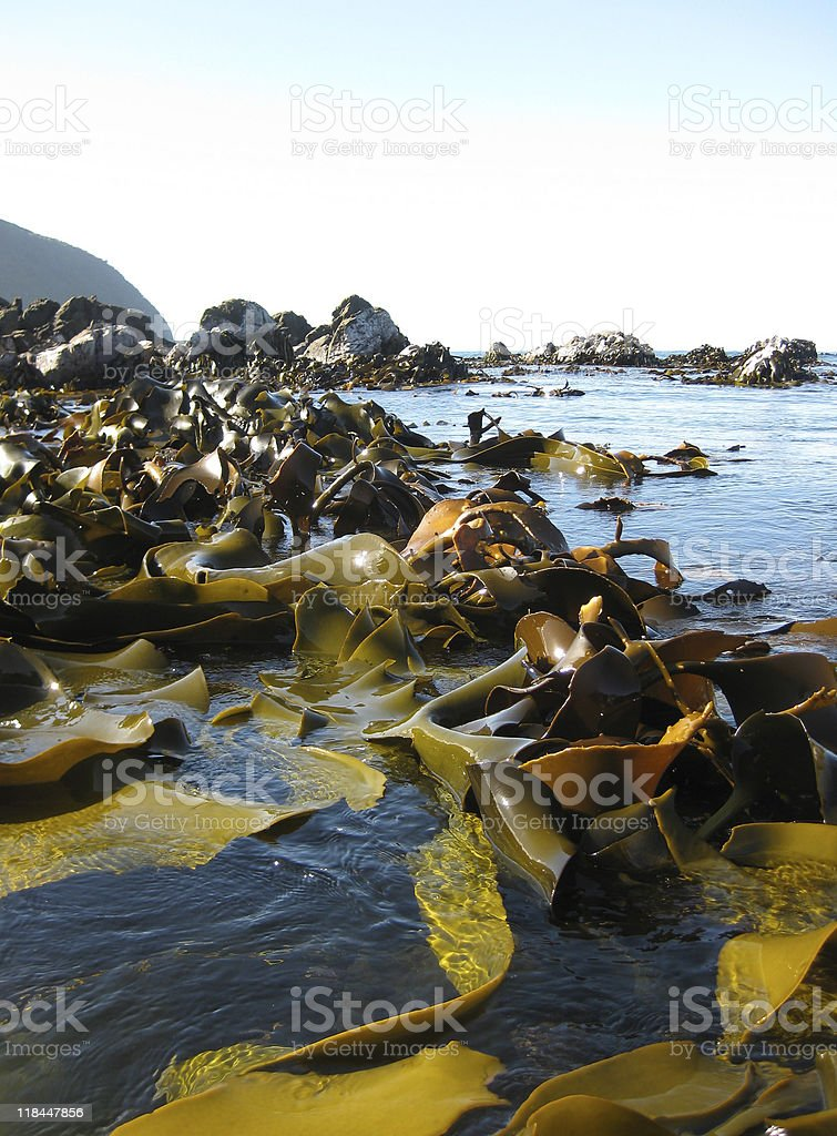 Seaweed/kelp on the water's surface, low angled view stock photo