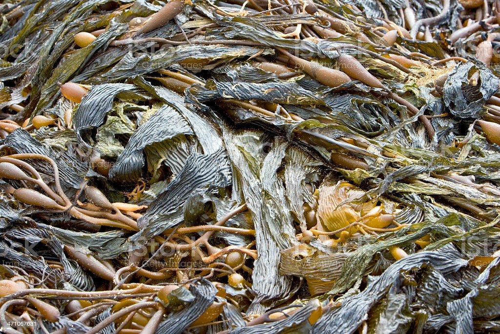 seaweeds texture stock photo