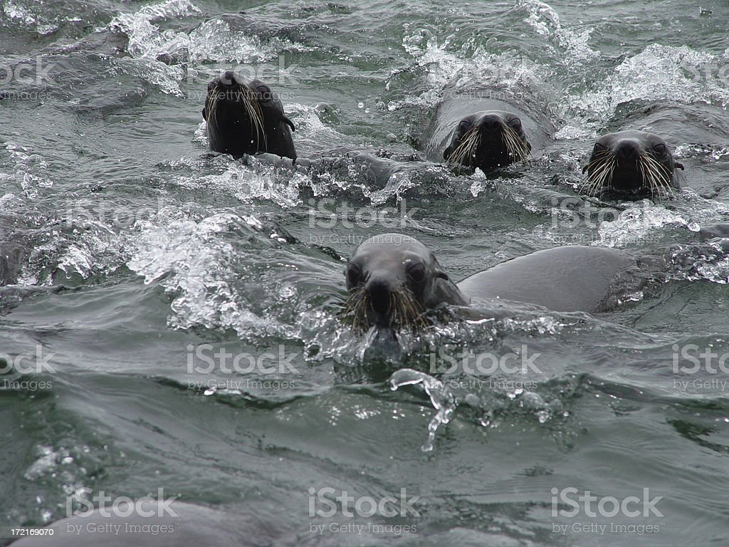 Seawolves following me royalty-free stock photo