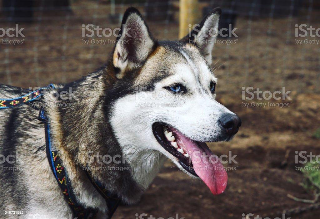 Seberian husky dog stock photo
