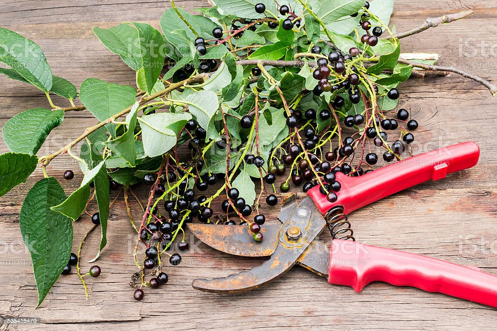 Secateurs and branches of bird cherry with ripe berries stock photo