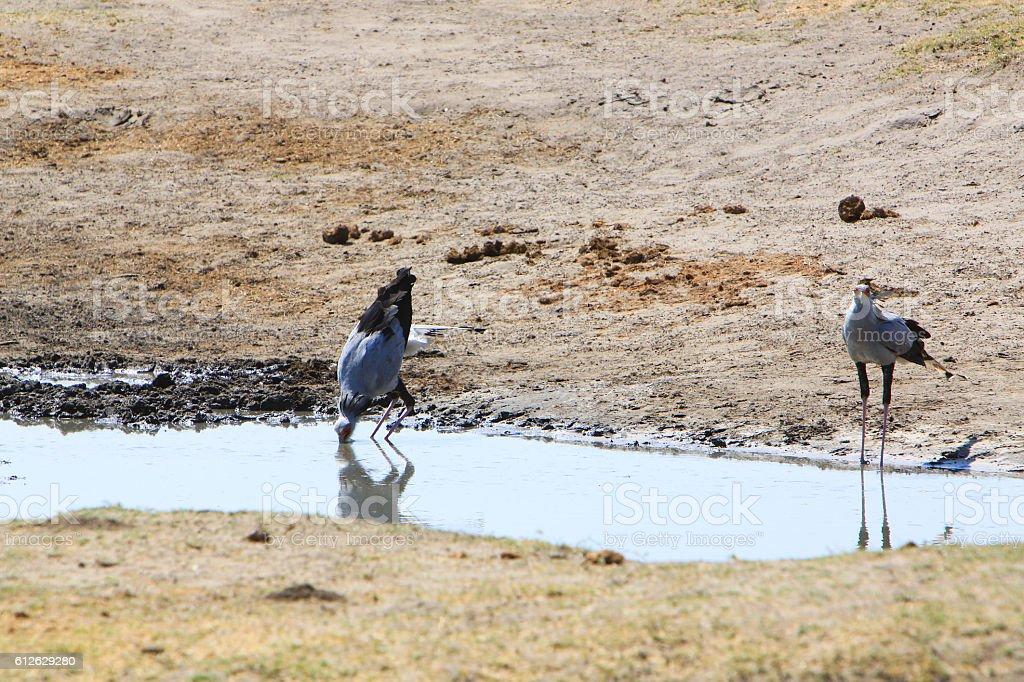 Secretary birds drinking in a pool in Hwange Park, Zimbabwe stock photo