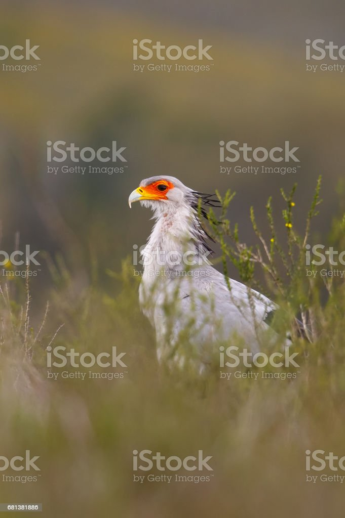 Secretarybird with blurred natural background stock photo