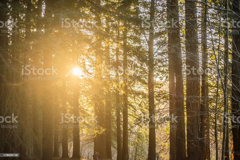 Secuoia forest at sunset stock photo