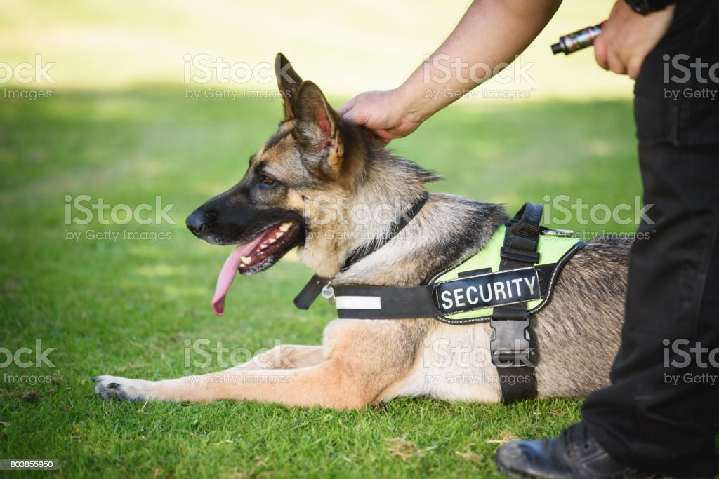Security Dog and Handler stock photo